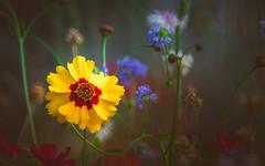 wildflower (Dhina A) Tags: sony a7rii ilce7rm2 a7r2 a7r tamron sp 500mm f8 tamronsp500mmf8 prime ad2 adaptall2 mirrorlens 55bb catadioptric reflex cf tele macro manualfocus wildflower flower bokeh summer