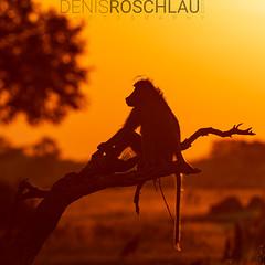 Sunset Baboon in Hwange (Denis Roschlau Photography) Tags: chacmababoon baboon papioursinus pavian bärenpavian capebaboon monkey hwange nationalpark zimbabwe simbabwe tree sunset sundown backlit pose silhouette sitting deadtree bau sitzend wildanimal wildtier tier säugetier mammal