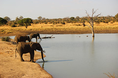 Three African Bush Elephants at the Waterhole (Lachlan.Mulhearn) Tags: loxodonta africana african bush elephant south africa kruger national park largest land mammal