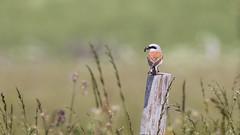 478.2 Grauwe Klauwier (dirkvanmourik) Tags: aves bird causseméjean france frankrijk grauweklauwier laniuscollurio lozere nationaalparkcevennen oiseaux parcnationaldescévennes redbackedshrike vogel