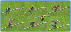 European Bee-eater (Merops apiaster), mating sequence (Kike K.) Tags: bird animal beak feathers dragonfly insect color bokeh canon amateur 80d nature natural walk hiking isonzo soča river water odonata sun light sunlight daylight tail may heat humidity pond branch fly flight flying meal telephoto crop gimp gmic artistic experimental 400mm june 2019 park grass green italy springtime spring primavera