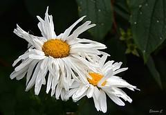 Dishevelled Daisies (Eleanor (New account))) Tags: flowers whiteflowers daisies garden busheyrosegarden bushey uk nikond7100 july2019 coth5