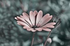 flowers (Greg M Rohan) Tags: nikon nikkor d7200 pink flowers plant blur flower nature water waterdrop bloom fleur 花 blume 自然 lanature 性質