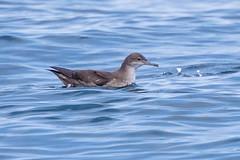 balearic shearwater (ianbollen) Tags: bird shearwater balearic england scilly