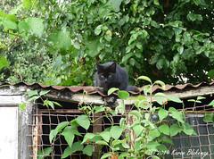 August 2nd, 2019 Trespasser! (karenblakeman) Tags: cavershamgarden caversham uk cat blackcat 2019 august 2019pad reading berkshire