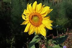 Sunflower (Hugo von Schreck) Tags: hugovonschreck sonnenblume sunflower flower blume blüte canoneosm50 efm1545mmf3563isstm