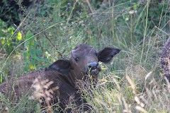 (baby) Cape Buffalo  /  (baba) Buffeltjie (Pixi2011) Tags: buffalo southafrica africa wildlifeafrica rietvleinaturereserve wiildlife wildanimals animals nature