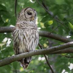Barred Owl (Kevin E Fox) Tags: barredowl owl pleasantplains greatswamp nj newjersey strixvaria bird birdwatching birding birds birdphotography birdofprey raptor sigma150600sport sigma nature nikond500 nikon