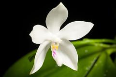 [Sumatra, Indonesia] Phalaenopsis tetraspis Rchb.f., Xenia Orchid. 2: 146 (1870)