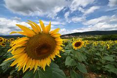 Grand Soleil (Excalibur67) Tags: nikon d750 sigma 1224f4556iidghsm paysage landscape flowers fleurs tournesol sunflower soleil ciel cloud sky nature nuages champ