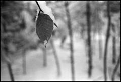 (Armin Schuhmann) Tags: 2018 winter praktica mtl mtl3 carl carlzeissjena carlzeiss zeiss jena flektogon 35mm f28 2835 3528 vintagecamera vintagelens zebra vintage m42 screwmount yellowfilter agfa apx apx400 400asa rodinal 1100 argentique analogue analogic analog analogo analogico analogica scan selfdeveloped shootfilm schwarzweiss sw schwarzweis believeinfilm buyfilmnotmegapixels bw bokeh blackandwhite northeast noiretblanc pelicula ishootfilm filmisnotdead filmscan filmphotography filmphoto film filme estrie easterntownships quebec canada beach leaf branch trees forest woods dof nature foliage пленка