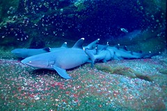 Requins pointes blanches (michel David photography) Tags: shark requin mexique socorro