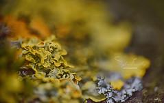 Soirée mousse (Chocolatine photos) Tags: mousse verdure nature nikon nikonpassion naturebynikon jaune vert makemesmile macrounlimited flickr couleurs