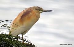 Squacco Heron (Ardeola ralloides) Ad-S (Nick Ransdale) Tags: squacco heron ardeola ralloides