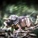 Triceraptos.
