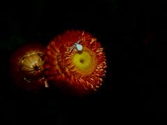 Xerochrysum bracteatum and Misumena vatia (lucian_savy) Tags: xerochrysum bracteatum misumena vatia blackbackground spider white crab olympus em10markii strawflower flower