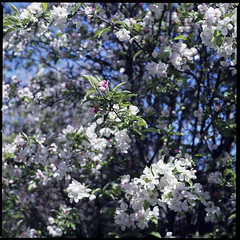 Apple tree blossoms, Kirchweidach Spring 2019 (Hermann Neu aka Hanoi) Tags: hasselblad planar35100mm planar carlzeiss 503cxi analog analogue film square 6x6 mf120 blüten blossoms spring frühling mediumformat mittelformat