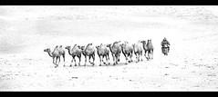 camel herding Gobi style (Jamie B Ernstein) Tags: gobi gobidesert mongolia desert nikon camels highkey monochrome blackandwhite motorbike herding dromedary