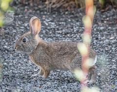 Tanner Rabbit. (Omygodtom) Tags: rabbit animalplanet animal tannersprings urbunnature usgs algorithm flickriver natural nature nikkor nikon70300mmvrlens d7100 meadow