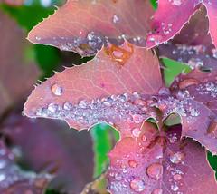 Morning Freshness. (Omygodtom) Tags: nature oregongrape leaves water nikon70300mmvrlens d7100 algorithm flickriver sunshine macro