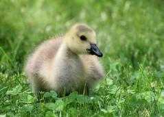 (EJMphoto) Tags: canadagoose geese gosling baby cute grass brooksidegardens