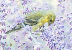Day light Feeding. (Omygodtom) Tags: wildlife nature bird high lavender usgs nikon70300mmvrlens d7100 bokeh dof algorithm flickriver flora flower