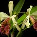 [Colombia] Cattleya dowiana var. aurea 'Maestranza' (Linden) B.S.Williams & T.Moore, Orchid Album 2: t. 84 (1883)