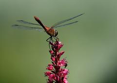Ruddy darter (hedgehoggarden1) Tags: ruddydarter odonata darter insect dragonfly creature wildlife nature sonycybershot norfolk eastanglia uk gooderstonewatergardens sony