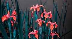 0001_flower_santeny_1111 (isogood) Tags: etang lac pond santeny servon valdemarne france nature duck canard saule saulepleureur flower
