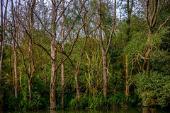 0019_saule_pleureur_97y77 (isogood) Tags: etang lac pond santeny servon valdemarne france nature duck canard saule saulepleureur flower