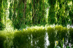 0017_saule_pleureur_97r77 (isogood) Tags: etang lac pond santeny servon valdemarne france nature duck canard saule saulepleureur flower