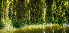 0015_saule_pleureur_97p77 (isogood) Tags: etang lac pond santeny servon valdemarne france nature duck canard saule saulepleureur flower