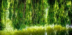 0014_saule_pleureur_97n77 (isogood) Tags: etang lac pond santeny servon valdemarne france nature duck canard saule saulepleureur flower