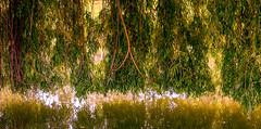 0011_saule_pleureur_97h77 (isogood) Tags: etang lac pond santeny servon valdemarne france nature duck canard saule saulepleureur flower