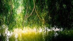 0008_saule_pleureur_977xc7 (isogood) Tags: etang lac pond santeny servon valdemarne france nature duck canard saule saulepleureur flower