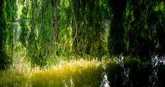 0005_saule_pleureur_977g7 (isogood) Tags: etang lac pond santeny servon valdemarne france nature duck canard saule saulepleureur flower