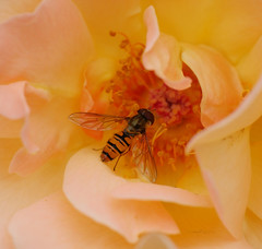 Hoverfly (yvonnepay615) Tags: panasonic lumix gh4 flower rose insect hoverfly mygarden coth coth5
