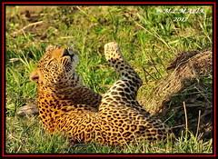 LEOPARD (Panthera pardus) ...MASAI MARA.....SEPT 2017 (M Z Malik) Tags: nikon d3x 200400mm14afs kenya africa safari wildlife masaimara keekoroklodge exoticafricanwildlife exoticafricancats flickrbigcats leopard pantheraparduc ngc npc
