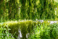 0020_saule_pleureur_9w777 (isogood) Tags: etang lac pond santeny servon valdemarne france nature duck canard saule saulepleureur flower