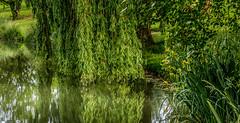 0013_saule_pleureur_97m77 (isogood) Tags: etang lac pond santeny servon valdemarne france nature duck canard saule saulepleureur flower