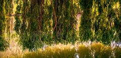 0006_saule_pleureur_977i7 (isogood) Tags: france flower nature duck pond lac canard etang valdemarne saule saulepleureur servon santeny