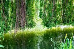 0018_saule_pleureur_97v77 (isogood) Tags: etang lac pond santeny servon valdemarne france nature duck canard saule saulepleureur flower