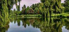 0012_saule_pleureur_97l77 (isogood) Tags: etang lac pond santeny servon valdemarne france nature duck canard saule saulepleureur flower