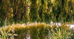 0007_saule_pleureur_977x7 (isogood) Tags: etang lac pond santeny servon valdemarne france nature duck canard saule saulepleureur flower