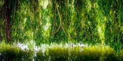 0004_saule_pleureur_977f7 (isogood) Tags: france flower nature duck pond lac canard etang valdemarne saule saulepleureur servon santeny