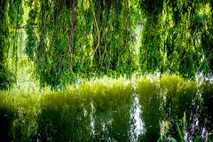 0001_saule_pleureur_9777 (isogood) Tags: etang lac pond santeny servon valdemarne france nature duck canard saule saulepleureur flower