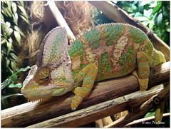 Chameleon (Nadine V.) Tags: chameleons chamaeleons chamaeleonidae kameleon reptile reptiel nausicaa france boulognesurmer samsungs5 samsungs5neoblack samsung