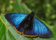 Jonaspyge aesculapus (hippobosca) Tags: butterfly panama hesperiidae macro insect skipper lepidoptera jonaspygeaesculapus