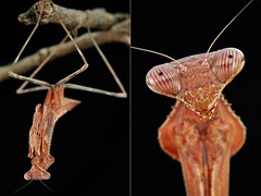 MUGSHOT - Praying Mantis (Pseudempusa sp., Mantidae) (John Horstman (itchydogimages, SINOBUG)) Tags: insect macro china yunnan itchydogimages sinobug entomology collage mosaic mugshot praying mantis mantidae fb