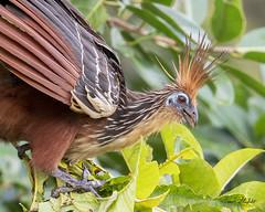 Hoatzin, (Opisthocomus hoazin) (Frank Shufelt) Tags: hoatzin opisthocomushoazin canjepheasant stinkbird birds aves wildlife sanvicentedelcaguan caquetá colombia southamerica 20190724 july2019 1967